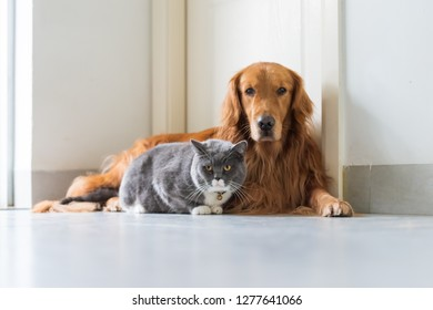 Golden Retriever dogs and British short-haired cats
