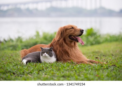 Golden Retriever dogs and British short-haired cats play on the grass