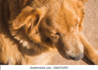 Golden Retriever Dog's Head Shot Top View Closeup. Lying Relaxing in warm Sunlight. Concept of Loyalty, Lovely Pet, Friendship, Obedience, Docile, Adorable, Happiness, Warm-Hearted Feeling Background