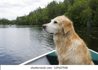Golden retriever enjoying a boat ride.