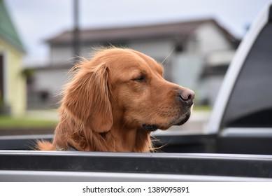 Golden retriever enjoys a ride to town in Sitka, Alaska