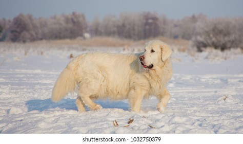 Golden Retriever female at 13 years of age