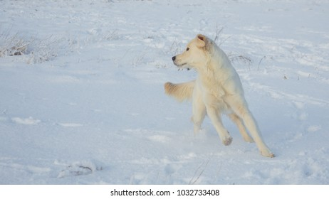 Golden retriever female at 9 months of age on a cold winter day
