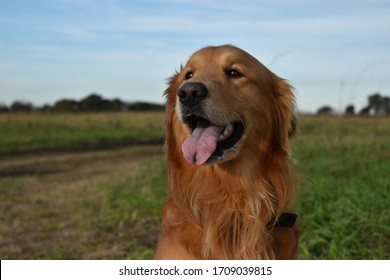 Golden retriever in the field