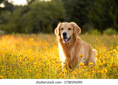 Golden Retriever in the field with yellow flowers. Beautiful dog with black eye Susans blooming. Retriever at sunset in a field of flowers and golden light.