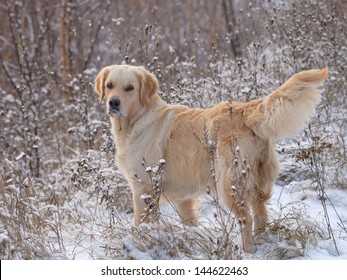 golden retriever in the forest