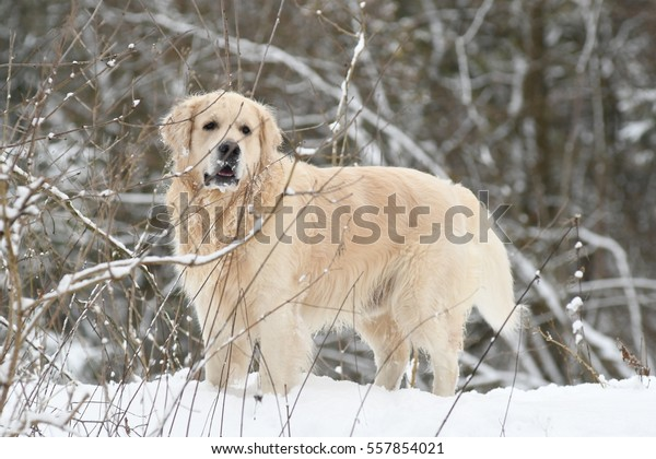 Golden Retriever in forest on a snowy day