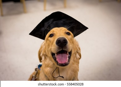Golden Retriever Graduation