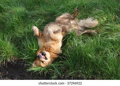 golden retriever in the grass, frozen motion