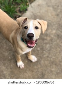 Golden retriever Great Dane mix