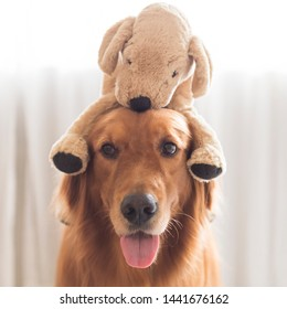 Golden Retriever has a plush toy puppy on the head