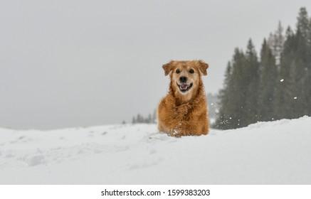 Golden Retriever having fun playing in the snow