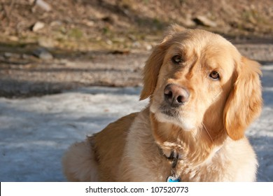 A golden retriever with head turned sideways curiously/curious dog/what?