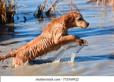 Golden Retriever Hunting and Gun Dog Training