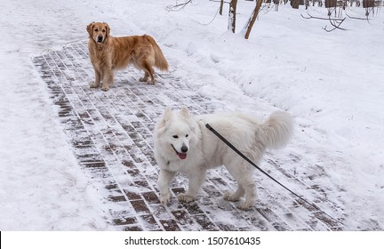 golden retriever and husky samoyed isolated  on a winter walk in the park