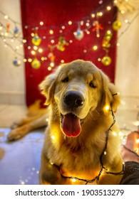 Golden Retriever illuminated for the christmas