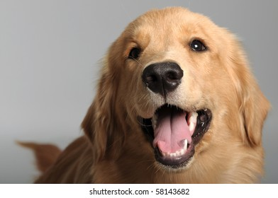 Golden Retriever isolated on Background