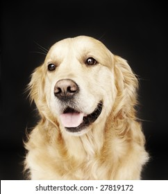 Golden Retriever isolated on black