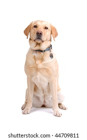 golden retriever isolated on a white background