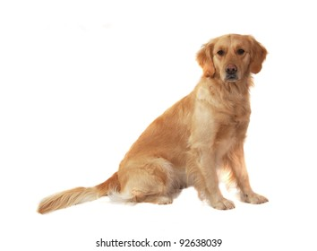 Golden retriever isolated on white