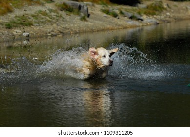 Golden Retriever jumping into a Lake with splashing Water.