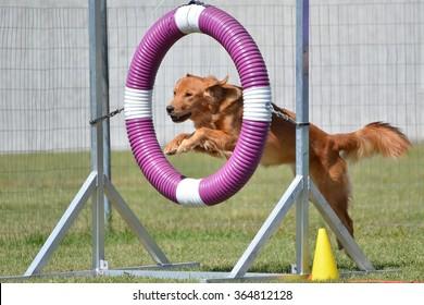 Golden Retriever Jumping Through a Tire at a Dog Agility Trial
