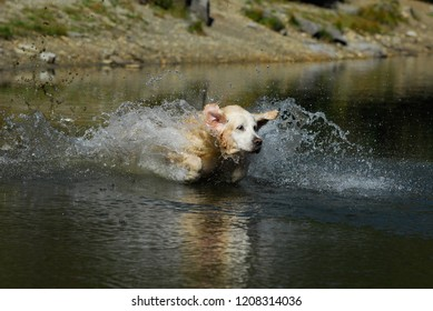 Golden Retriever jumping in the Water with reflection