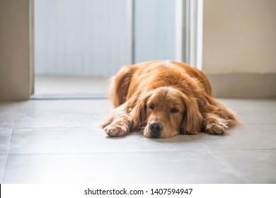 Golden retriever kneeling on the ground