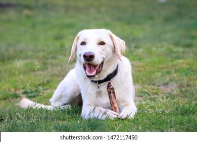 Golden retriever, labrador, dog chasing his toy, smile dog