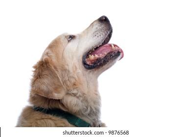 golden retriever Labrador isolated on a white background