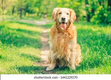 golden retriever, labrador, man's best friend for a walk in a summer park, outdoor recreation