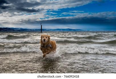 Golden Retriever Lake of Constanze