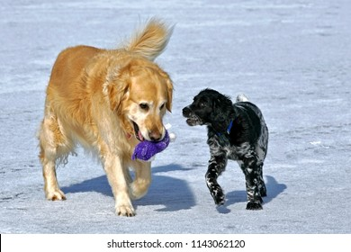 Golden Retriever and Large Munsterlander Puppy playing on lake ice