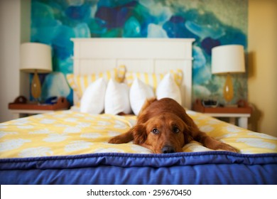 Golden Retriever Laying Down on Colorful Bed