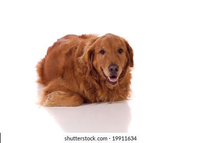 Golden Retriever laying on the ground