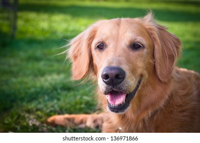 Golden retriever with leash lying down on grass.