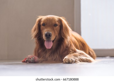 The golden retriever to lie on the ground
