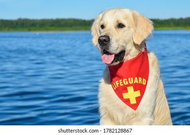 Golden retriever der Lifeguard (Baywatch) Hund am See mit rotem Bandana