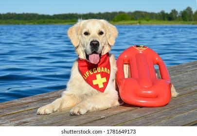 Golden Retrieve den Lifeguard Hund am See mit rotem Bandana und Bajuhren-Schwimmer