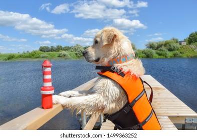 Golden retriever the lifeguard dog/baywatch dog