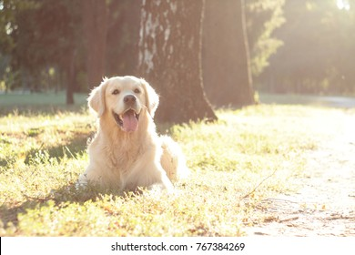 golden retriever in golden light