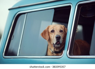 Golden Retriever is lonely at the window, vintage tone