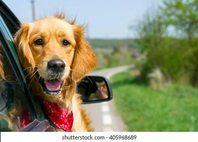Golden Retriever olhando para fora da janela do carro