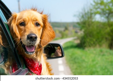 Golden Retriever Looking Out Of Car Window