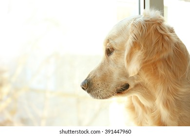 Golden retriever looking out the window at home