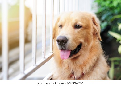 golden retriever looking and wait his lover master beside a house fence