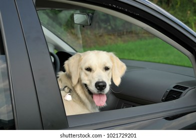 Golden Retriever looks out the window of a car