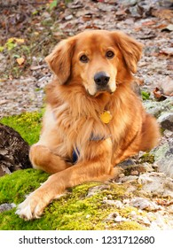 A Golden Retriever Looks Right at You as He Rest on the Woodland Trail
