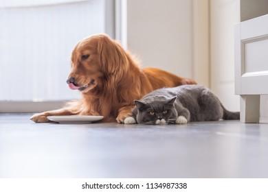 Golden Retriever lying and the British short hair cat