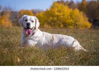 golden retriever lying down on field against autumn landscape